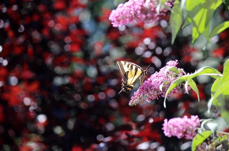 2015-06-26 My Garden and Butterflies 009.JPG