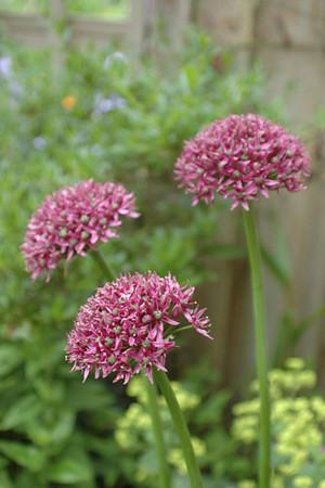 Allium 'Mercurius'