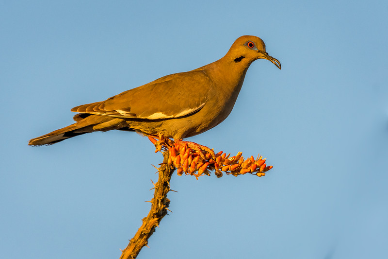 White Winged Dove With Deformed Beak