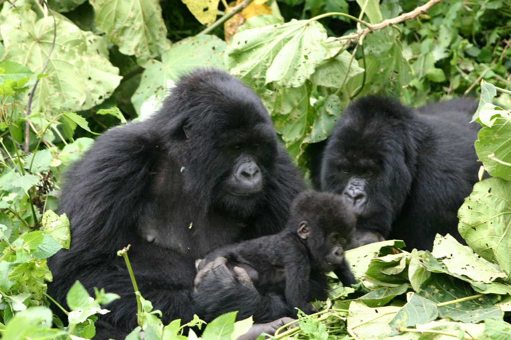 Mountain gorillas in the wild in Rwanda