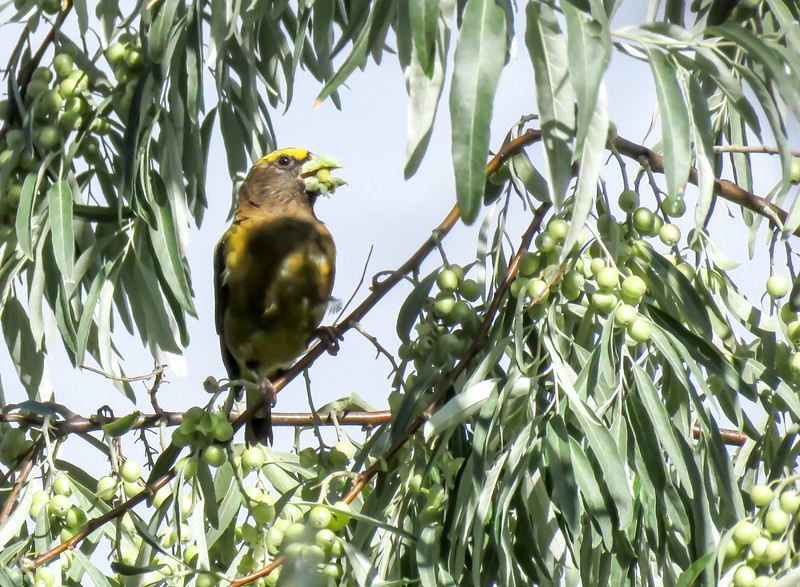 IMG_8568 3 crp Evening Grosbeak Russian Olive Fred Baca.jpg