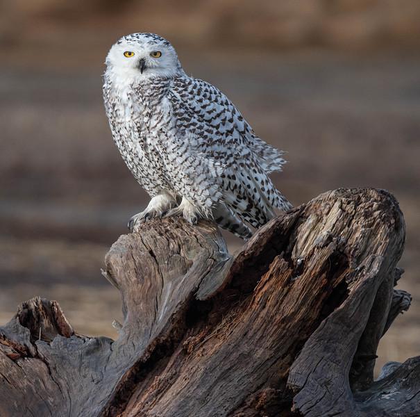 DSC_5479-2 Snowy Owl Sylvie on log.jpg