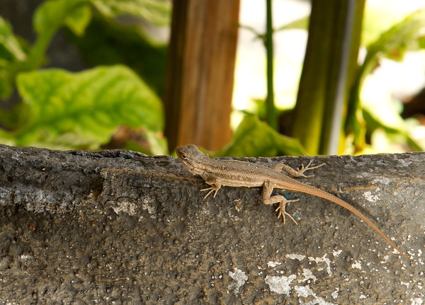 Lizards & Geckos