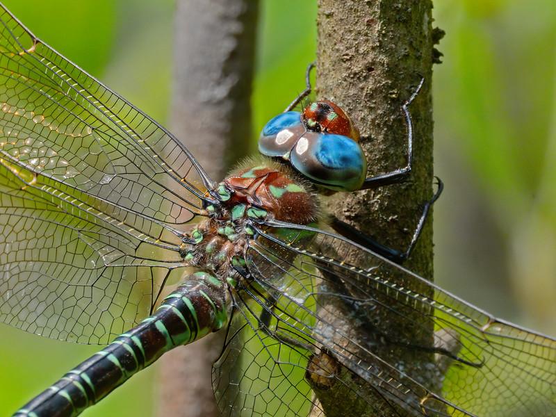 Male closeup, Blackbird State Forest, DE