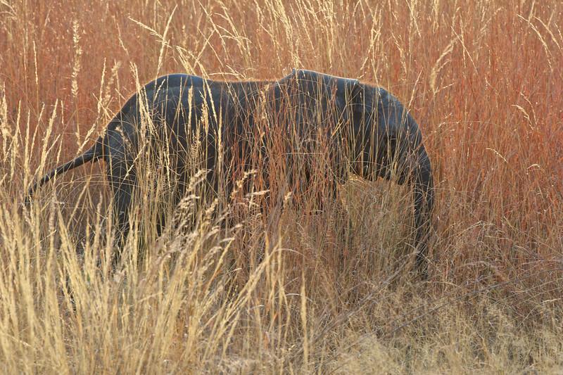 Young elephant, Kwondo Lagoon, Botswana