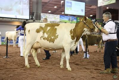 UKDairyDay18 DairyShorthorn