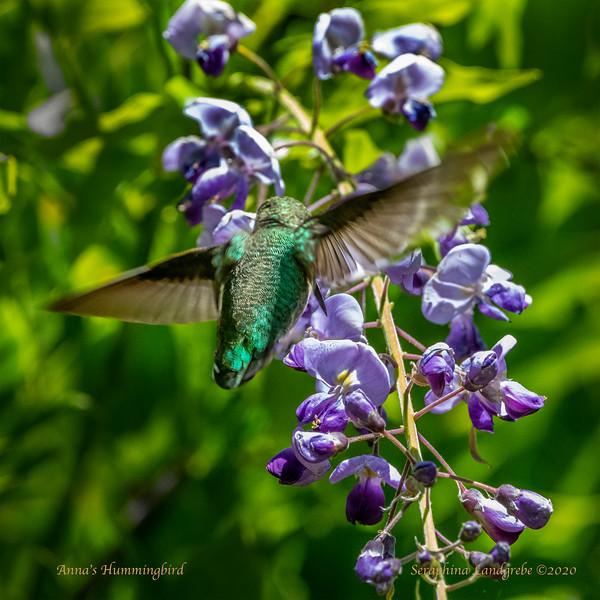 _DSC9761Anna's Humming bird Witseria.jpg