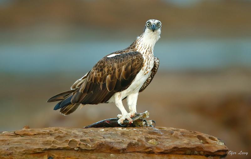 Eastern Osprey 6.jpg