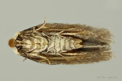 Nepticulidae