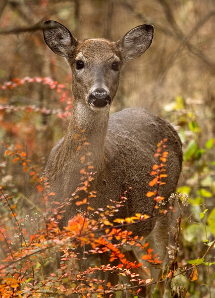 Whitetail_deer.jpg