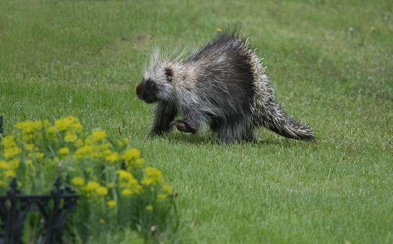 Porcupine 4.jpg