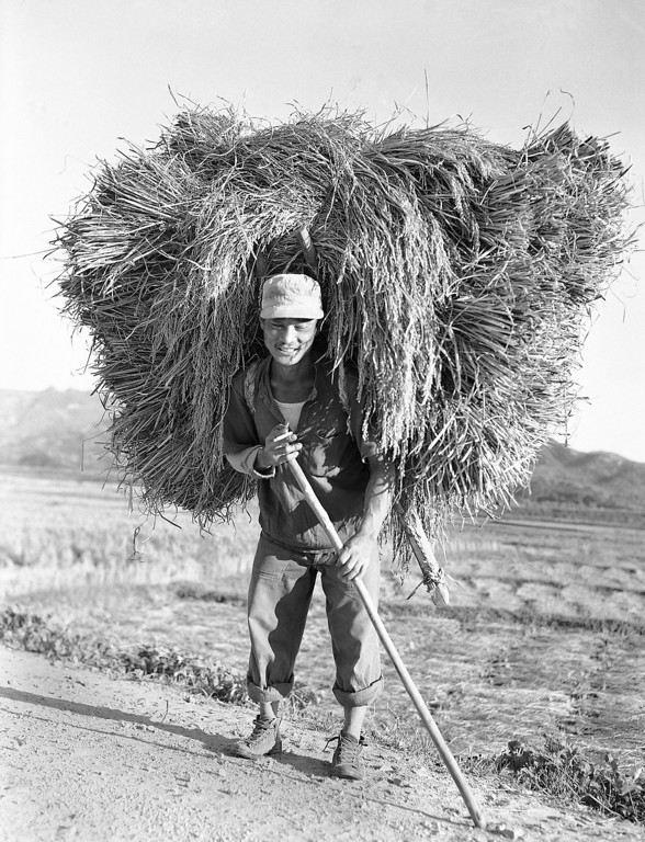 . A Korean farmer heads home from the fields with his \'A frame\' loaded with the harvested rice on Oct. 20, 1953. (AP Photo/George Sweers)