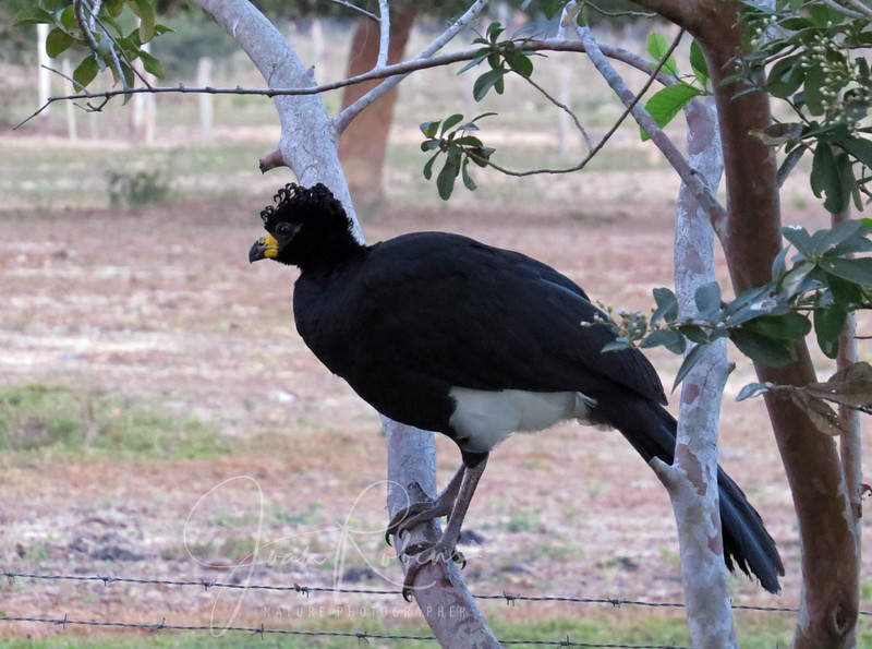 Bare-faced Curassow greeted me in the early morning light.