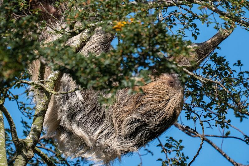 Sloth, sleeping