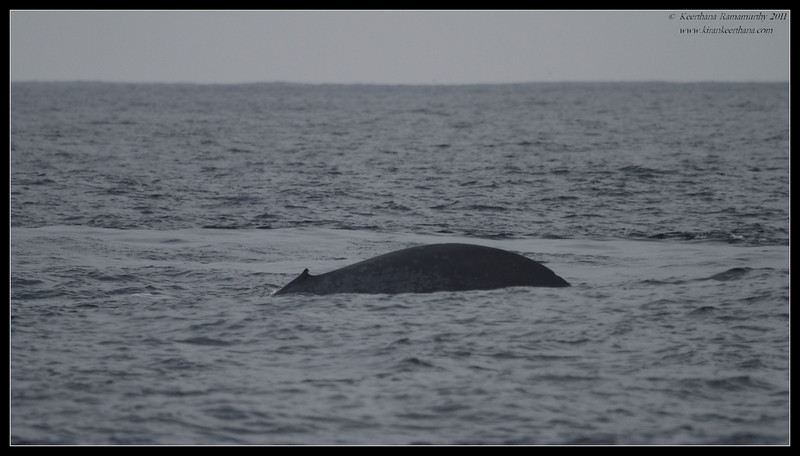 Blue Whale tail fluke rising, Whale Watching trip on 'America' sail boat, San Diego County, California, September 2011