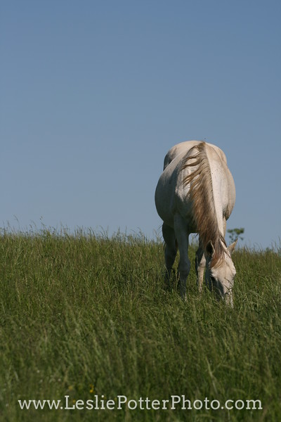 Horse Grazing in Pasture