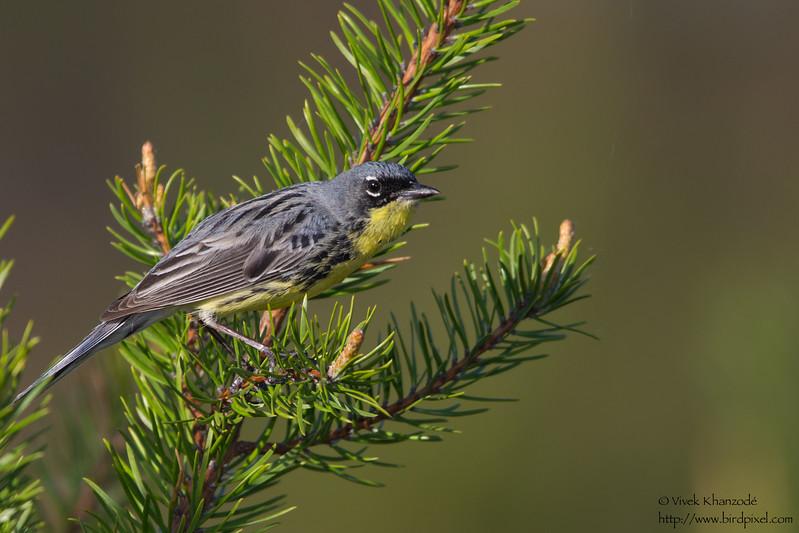 Kirtland's Warbler - Near Mio, MI, USA