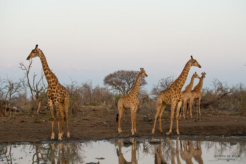 Giraffe, Madikwe GR (Imp), SA, Sept 2015.jpg