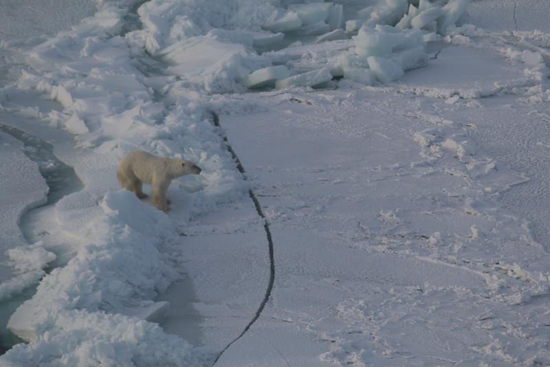 Polar Bear on Hudson Bay