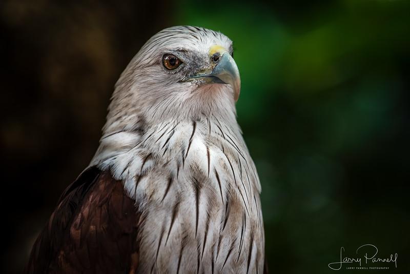 Red Tail Hawk - Thailand