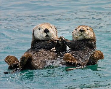 Otters (Sea, Giant & River)