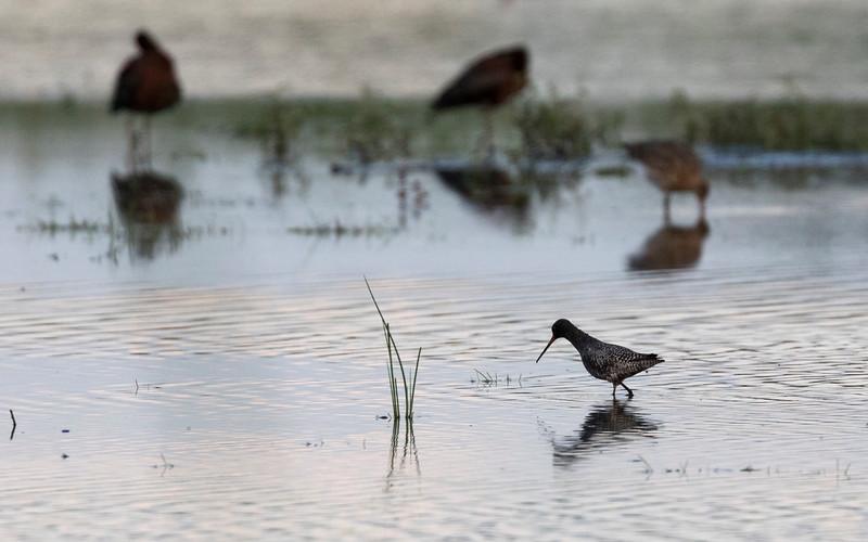 zwarte ruiter, spotted redshank