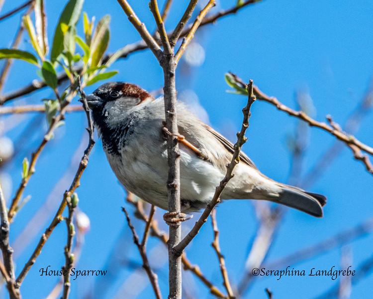 _DSC3788House Sparrow.jpg