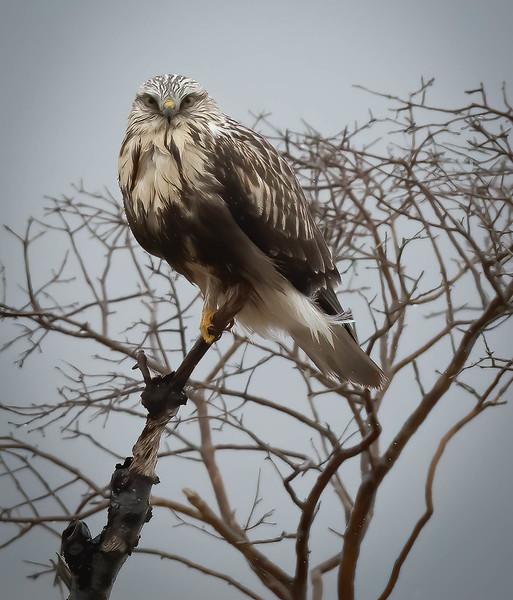 Rough-legged Hawk straight on