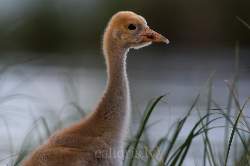 Chick of Common Crane