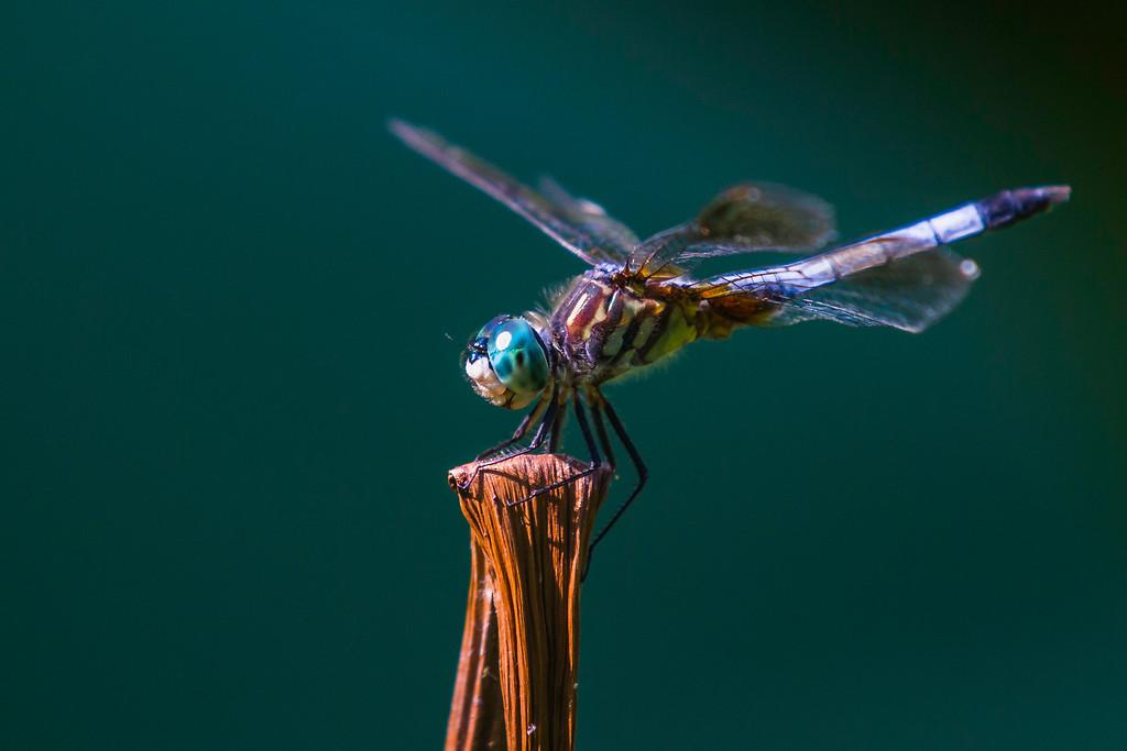 小蜻蜓,苗条轻盈