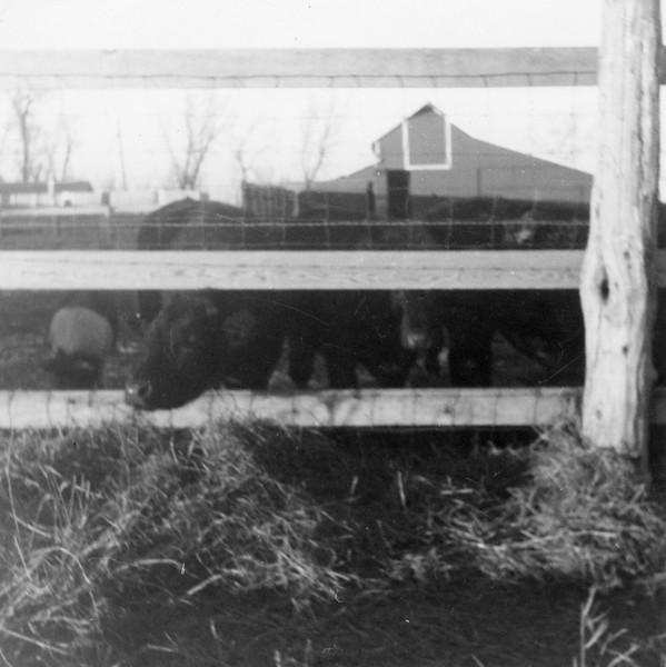 AR075.  Lako-Burgum feeders – barn – 1963.jpg