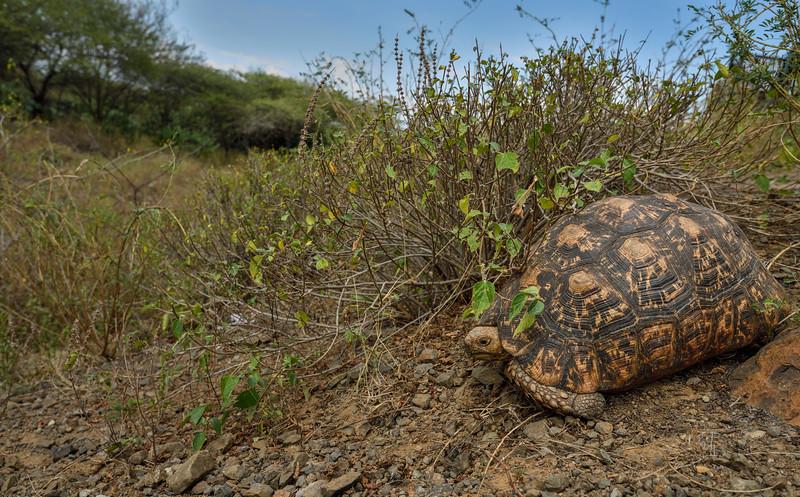 Leopard-tortoise-africa-1.jpg