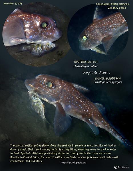 11.19.18 Ratfish eat Shiner 7 .jpg