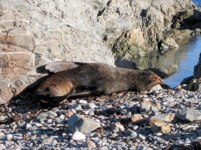 New Zealand fur seal at Sinclair Head