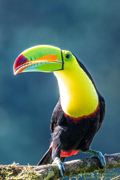 Toucan like Birds