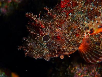 Scorpaena guttata (california scorpionfish)