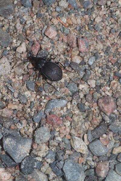 Ground Beetle Winterberry Bog Murphy Road Sax-Zim Bog MN IMG_0915.jpg