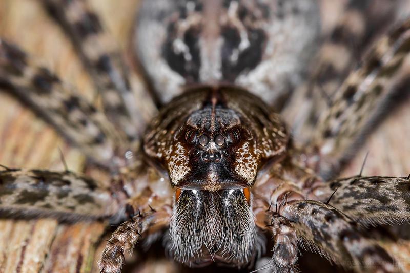 Okefenokee fishing spider