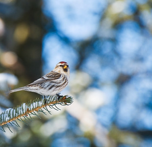 Common Redpoll  Taken Feb. 20, 2012 Elk Island Retreat Near Fort Saskatchewan, Alberta