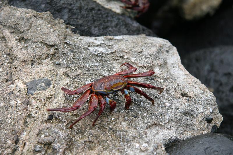 2007-02-19-0019-Galapagos with Hahns-Day 3, Espanola-Sally Lightfoot Crab.JPG