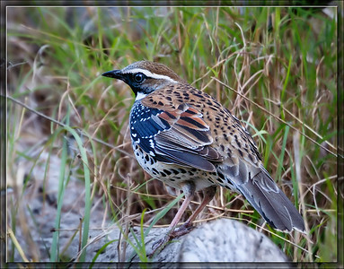 [Psophodidae]    Whipbirds & Quail-thrushes
