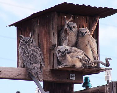 Great Horned Owls-Spanish Springs 2019