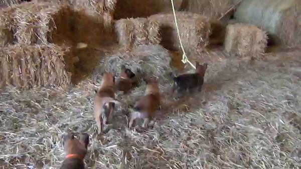 Puma KB puppies 5 weeks 3 dats