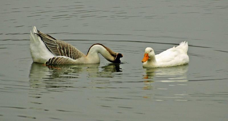 Dipping-Duck.jpg