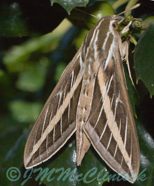 Striped Morning Sphinx Moth on a holly.