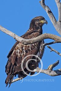 Golden Eagle Wildlife Photography