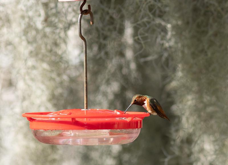 hummingbird-9864.jpg