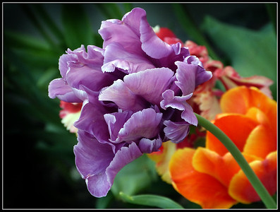 In my Garden - The Tulip