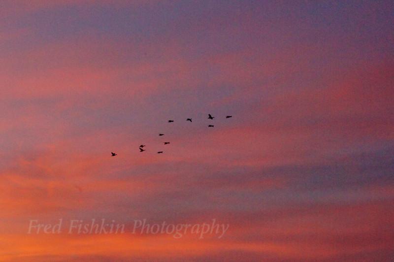 snow geese in flight.jpg