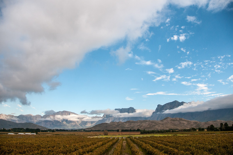 View of Table Mountain and vineyard in South Africa